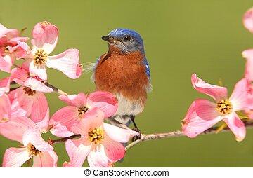 Bluebird with Dogwood flowers - Male Eastern Bluebird...