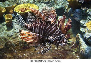 Lion fish - Lion-fish