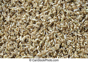 Sprouted rice - Macro closeup of moist sprouted brown rice...