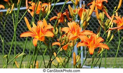 Orange Daylily Hemerocallis fulva - Orange Daylilies...