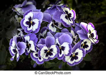 Pansies blue flowers in spring - Pansy blue flowers during...
