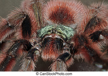 Portrait of a bird spider acanthoscurria geniculata -...