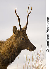 Young Male Elk Portrait National Bison Range Charlo Montana