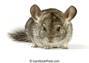 chinchilla very lovely and amusing rodent