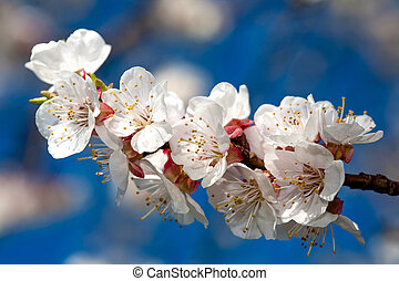 Flowers of apricot on a blue sky background - Flowers of...