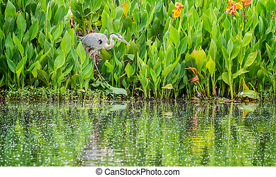 Great Blue Heron - A great blue heron wading bird.