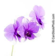 hermoso, púrpura, orquídea, flores, aislado,...