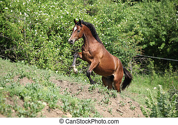 Nice brown horse running uphill - Nice young brown horse...