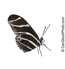 Zebra Longwing (Heliconius Charitonius) Butterfly On White...