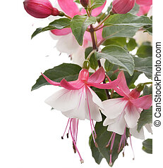 Pink And White Fuchsia Flowers