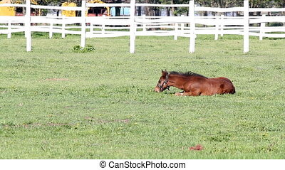 brown foal in corral