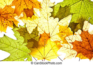 autumn maple leaves - colorful autumn maple leaves, brown,...