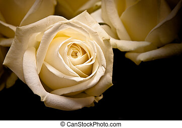 white roses on black background in old style