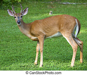Male whitetail deer - During the summer this young...