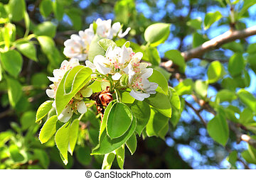 Flowering branch of pear tree in a spring