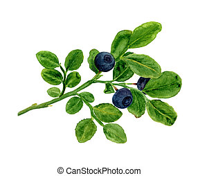 A branch of blueberries - Watercolor - blueberry branch....