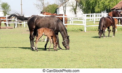horses and foals grazing in corral