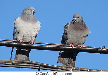 Pigeons siting on a wire