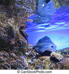 Stingray swimming on tropical coral reef