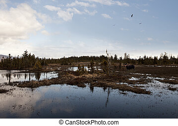 Alaskan Wetland - Wetland marshes in Alaska with a moose and...