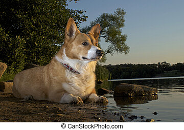 Pembroke Welsh Corgi at the waters edge