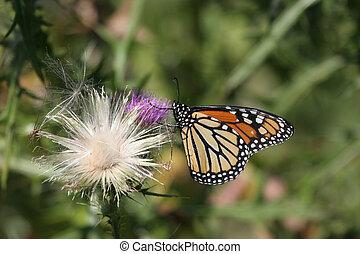 Monarch Butterfly danaus plexippus - Monarch Butterfly...