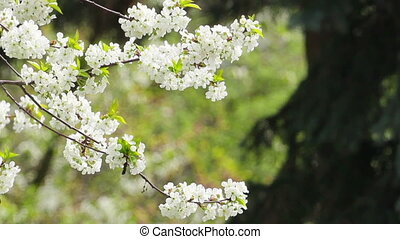 Blossom - White colored blossom in front of green tree
