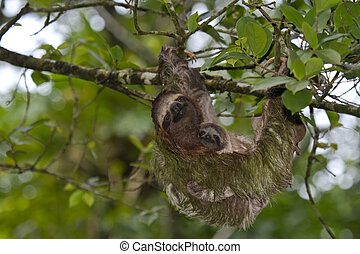 Sloth and baby sloth in Puerto Viejo, Costa Rica