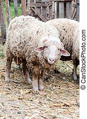 Angry ram