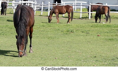 horses grazing ranch scene