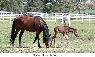 mare and foal grazing ranch scene