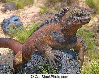 Marine Iguana on the Galapagos - The Marine Iguana...
