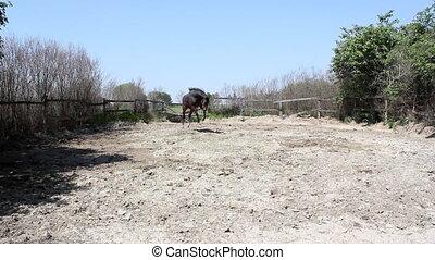 stallion running and kicking