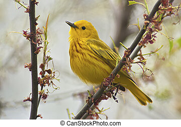 Yellow Warbler Dendroica petechia aestiva, male in breeding...