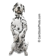 Well trained Dalmatian - obedient dog, isolated with...