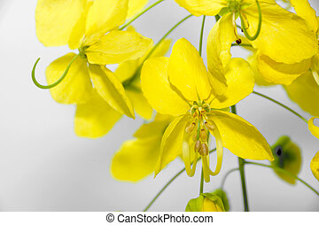 Yellow flower of Golden shower (Cassia fistula)