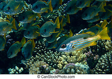 Ehrenbergs snappers Lutjanus ehrenbergi in the Red Sea,...