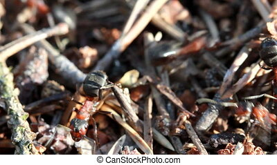 A group of ants, working at their anthill.