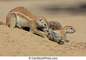 Ground squirrels - A female ground squirrel Xerus inaurus...