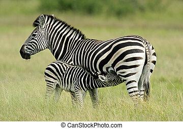 Plains Zebra with foal - Plains (Burchell\\\'s) Zebra (Equus...