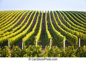 Horizontal shot of central european vineyard, long lines