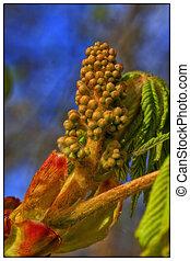 Horse Chestnut - flower - Postcard - Flower bud of the...