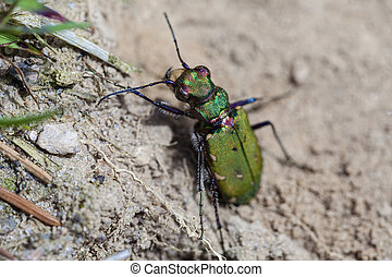 Field Tiger Beetle sunbathing - in a Macro
