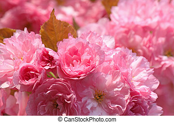japanese cherry tree blossom - pink japanese cherry tree...