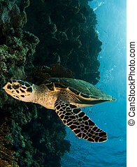 sea turtle - hawksbill sea turtle