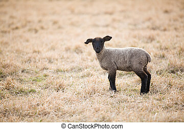 Single black lamb on pasture in spring, copy space
