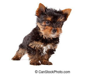 Puppy of Yorkshire Terrier
