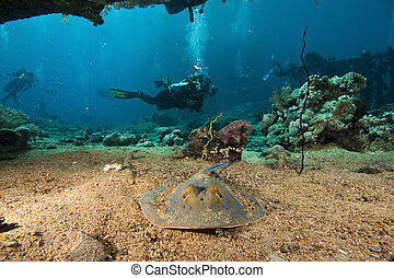 stingray and divers