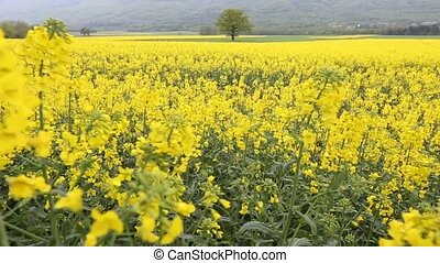 Rapeseed Field - Rapeseed field in rural Switzerland in the...
