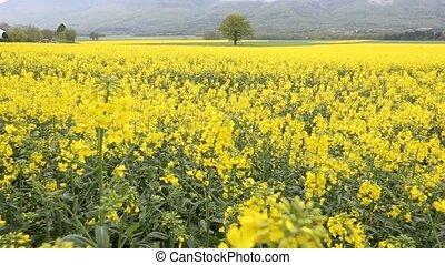 Rapeseed Field - Rapeseed field in rural Switzerland in the...